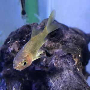 お祭り金魚をお迎えしました。
