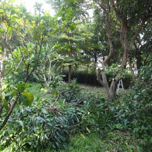 マンゴーの木の剪定