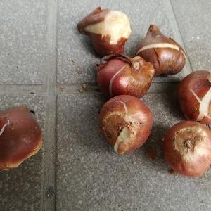 チューリップを植えました。