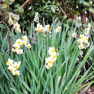 水仙のお花も増えてきました。
