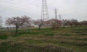 #すみよし河津桜2020 坂戸市