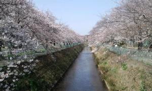 #東坂戸の桜2020 3.22