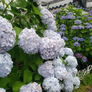 紫陽花と雨と紫陽花カフェ♪