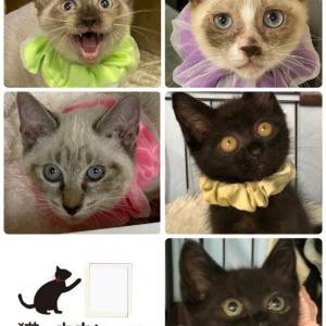 明日(10/17)は猫の未来とびら譲渡会を開催致します(拡散希望)