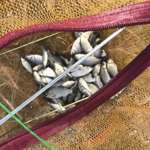 ナマズの飼育と魚ハンターDXの活用