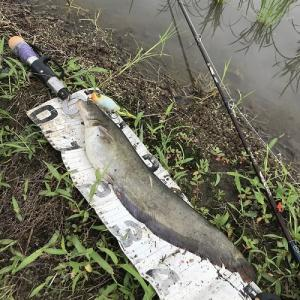 マニアックすぎ?!、田んぼでのナマズ釣り