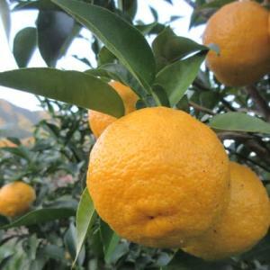「柚子の季節」