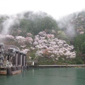 「川口ダムの桜」