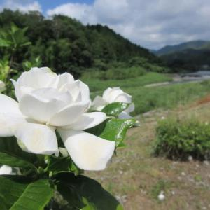 「くちなしの花」