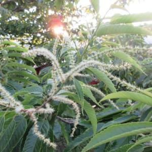 「夕日に映える栗の花」