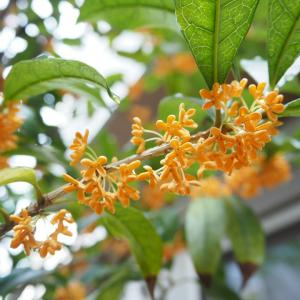 キンモクセイが香る季節