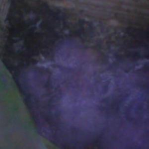オキナインコの赤ちゃん ハイパースコープ撮影