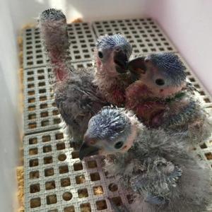 ゴシキセイガイインコの赤ちゃんたち