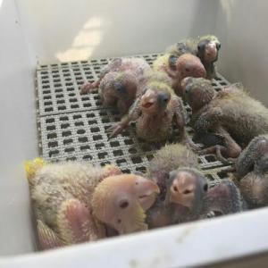 オキナインコの赤ちゃん 保育園組ww