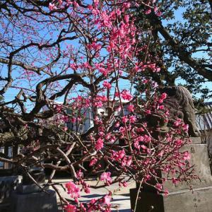 梅を観に行ってきました/蒲田梅屋敷公園→薭田神社→ユザワヤ