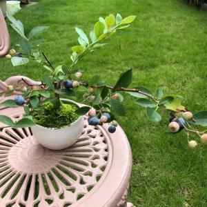 """""""ブルーベリーの盆栽。"""""""