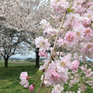 桜の大室公園と赤城
