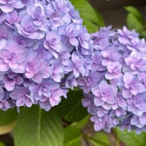 色の変化が美しい紫陽花