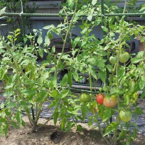 大玉トマト病気です