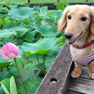 蓮の花が咲いたよ🌼