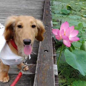蓮の花が咲いたよ🌼プレイバック