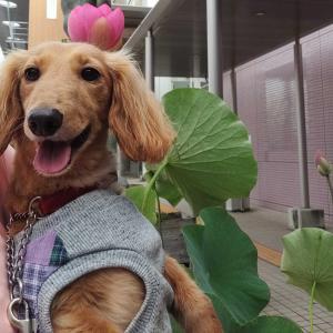 蓮の花が咲いたよ🌼遭遇