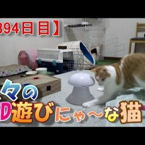 飽きたおもちゃで再び遊ぶ猫の話(我が家のネコ(ニケ)の成長記録:1394日目)