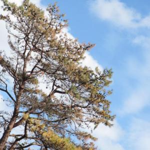 マツポックリの松の木が だんだん枯れていくわ