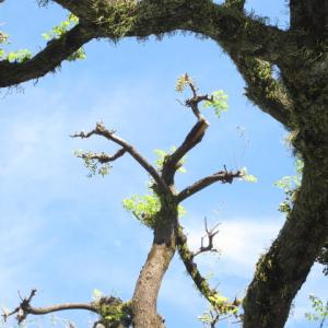 お気に入りの樹 センダンの大木