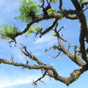 お気に入りの樹 センダンの大木(3)