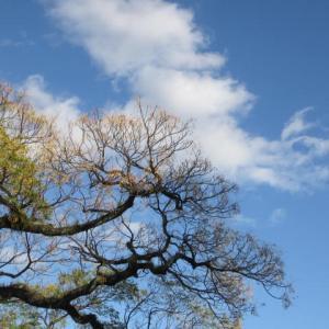 センダンの実と青桐の木の葉っぱ