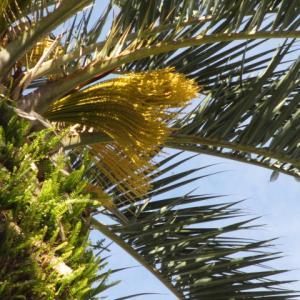 カナリア椰子