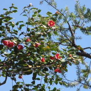 青い空にまだまだ咲くよ赤椿