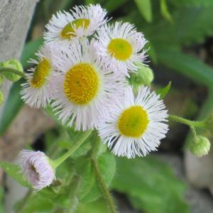 ハルジオン(春紫菀)