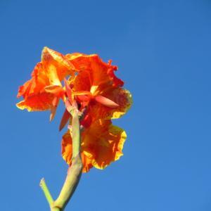 黄金虫のためのカンナ花とブルースカイ