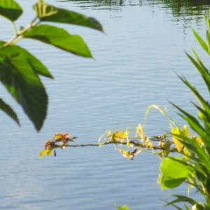 朝の静かな水辺 蟹は遊ぶ