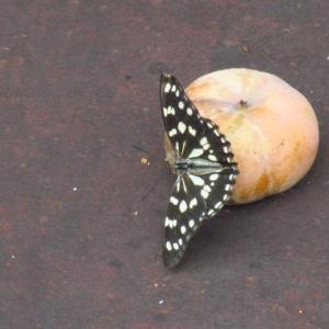 蝶々と柿 美味なフルーツ
