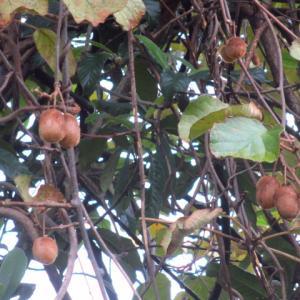 まるでジャングルに茂るキウイフルーツ