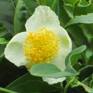 柿熟れてお茶の花の咲く頃