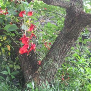 アメリカデイゴの樹