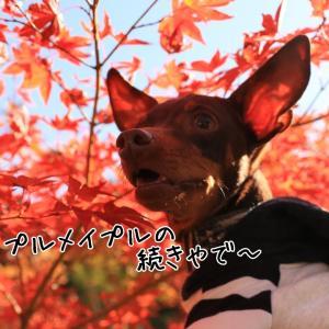かえでの郷ひらら 【ミニピン学園の5年1組のお友達】