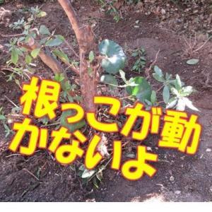 植木を切って、キッチンガーデン作りとシイタケの原木を買ってきた。