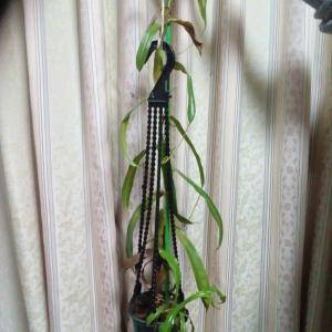 ウツボカズラベントリコーサを挿し木に···