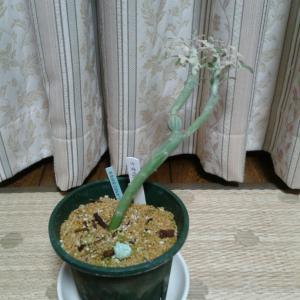 七宝樹錦の葉っぱが増えた!