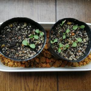 シロバナタンポポに芽が!