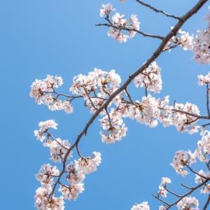 桜にまつわるソロギター曲