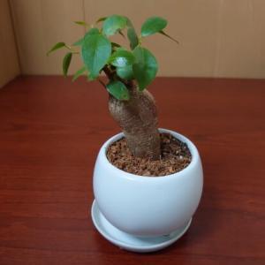病んだので観葉植物ガジュマルを飼ってました。【夏の日の合宿免許の思い出】