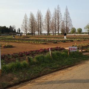 あけぼの山農業公園のチューリップ
