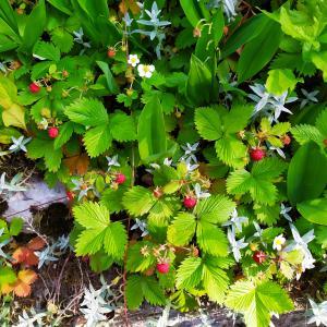 庭の野イチゴを収穫。そこへ美しいゲストが、、。(スイス)