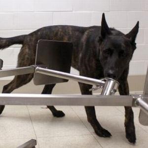 犬が新型コロナ感染者の検知に有望、フランスでの成功率は約90%